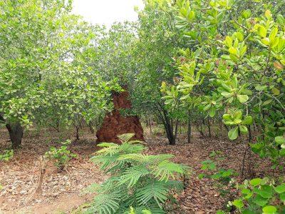Monte de terra construído pela formiga Bagabaga